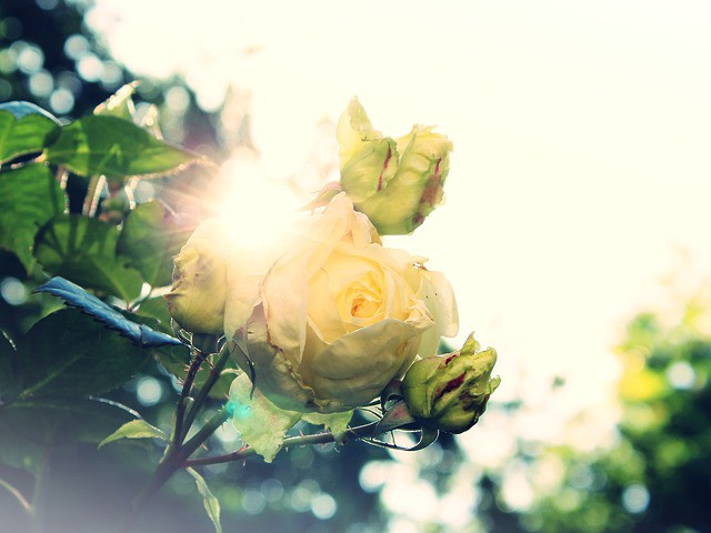 rose-824454_640