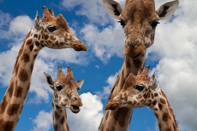 giraffes-627033_640